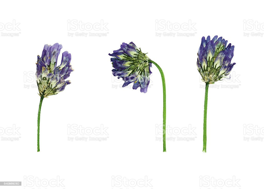 Pressed and dried flowers astragalus dasyanthus stock photo