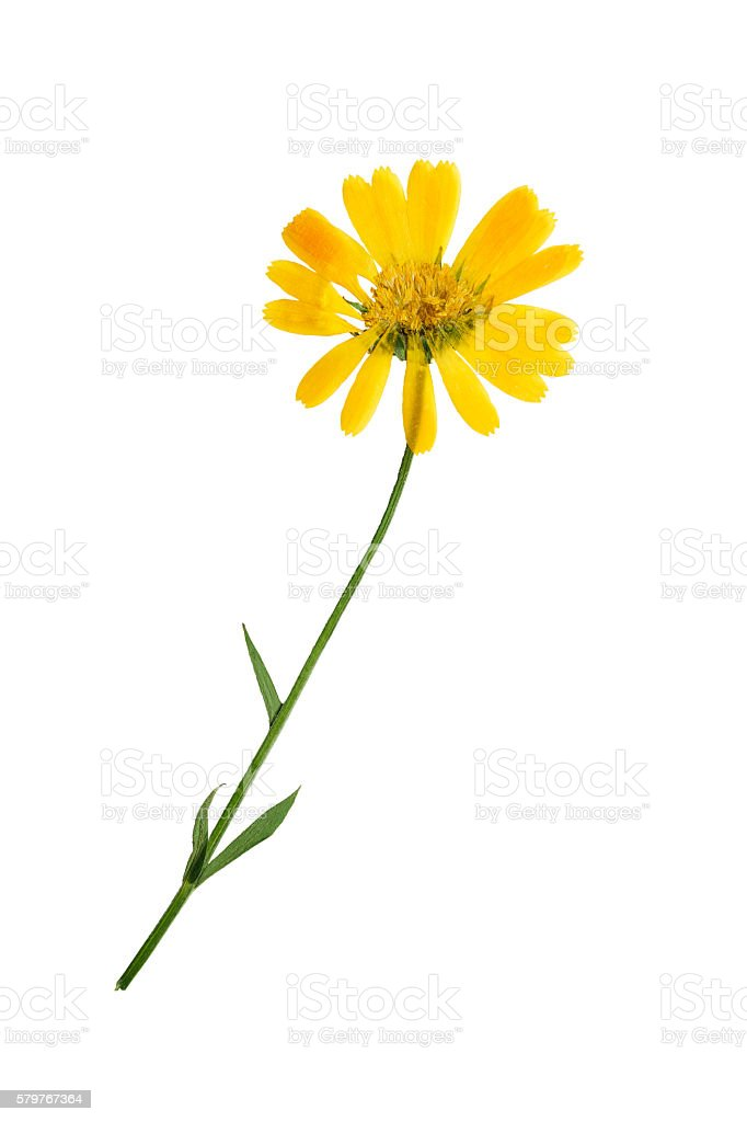 Pressed and dried flowers of calendula officinalis. Isolated. stock photo
