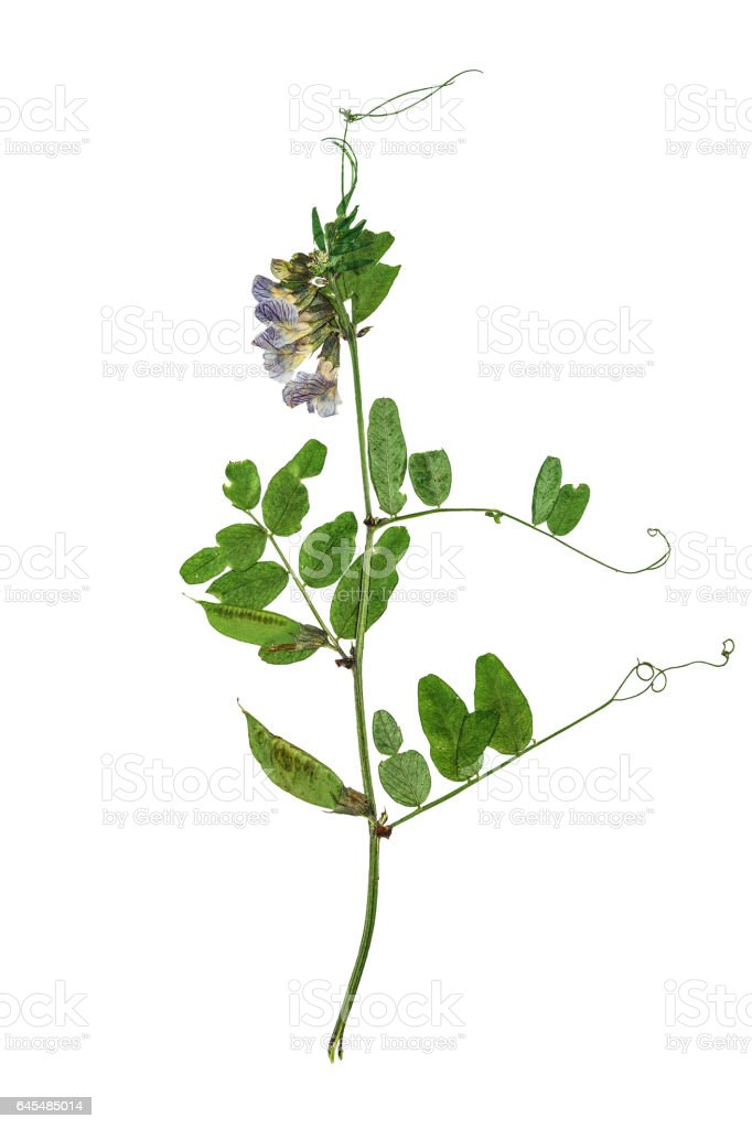 Pressed and dried flowers of forest peas, solated stock photo
