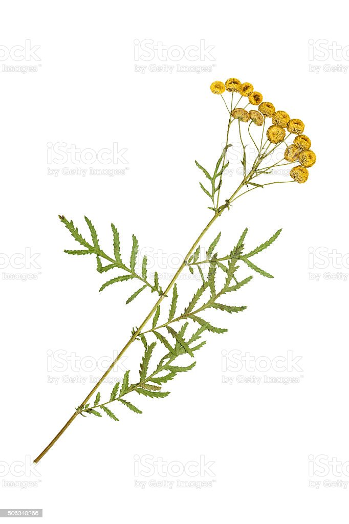 Pressed and dried flowers of tansy or tanacetum. stock photo