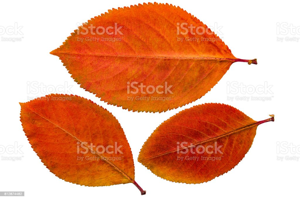 Pressed and dried leaf chokeberry (aronia), isolated stock photo