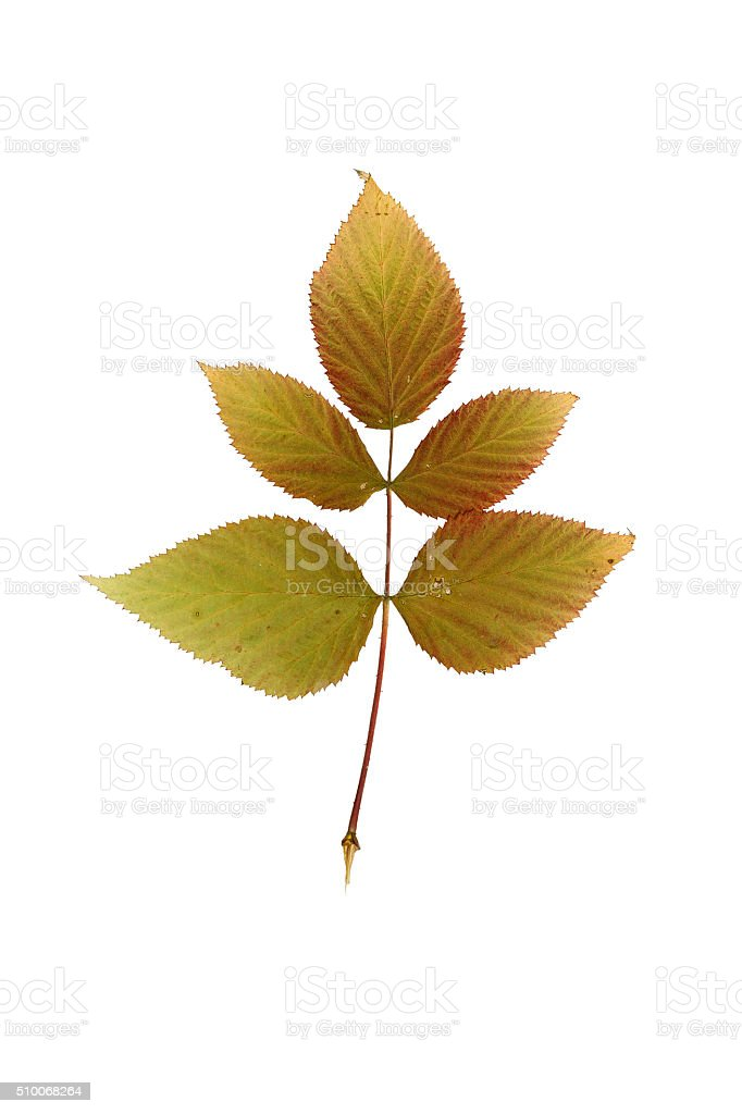 Pressed and dried leaf raspberry. stock photo