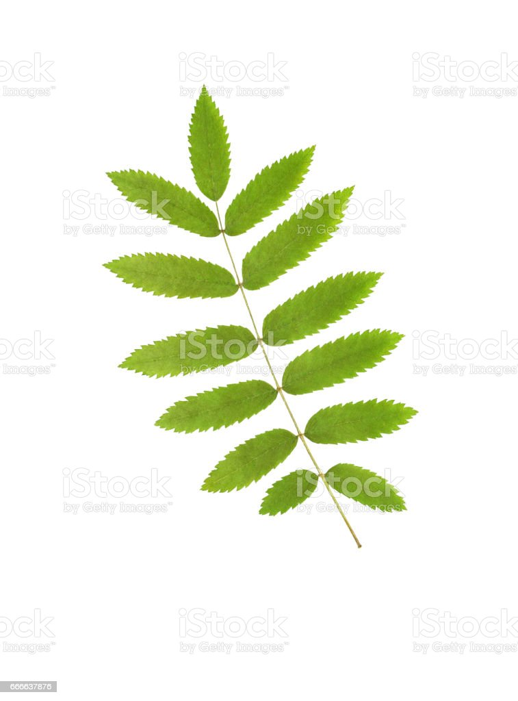 Pressed and dried leaf rowan isolated stock photo