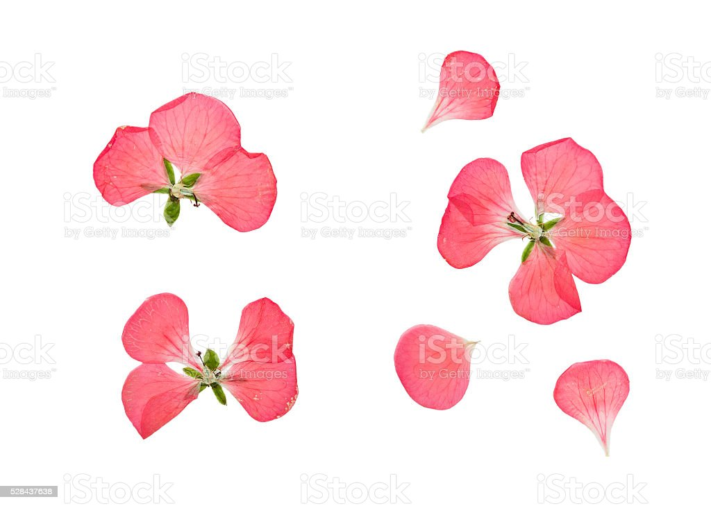 Pressed and dried pink flowers geranium, pelargonium. stock photo
