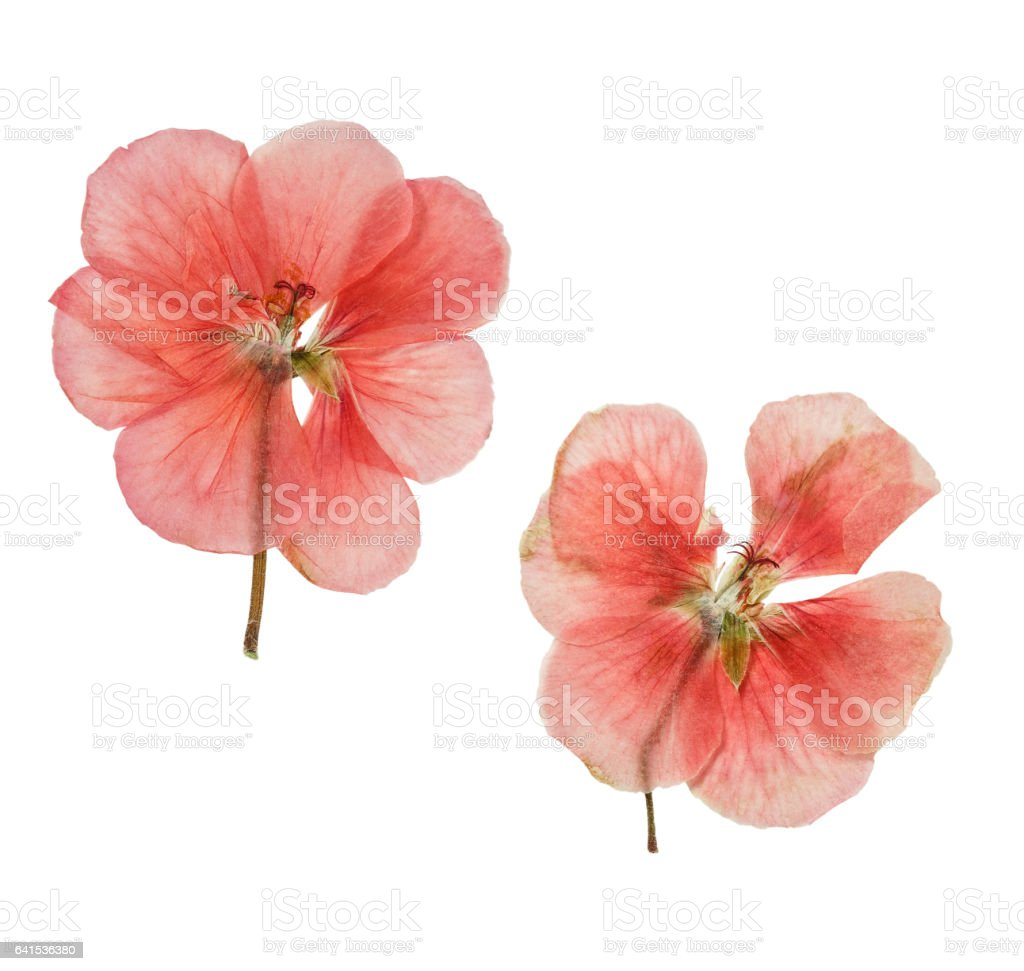 Pressed and dried salmon delicate transparent flowers geranium stock photo