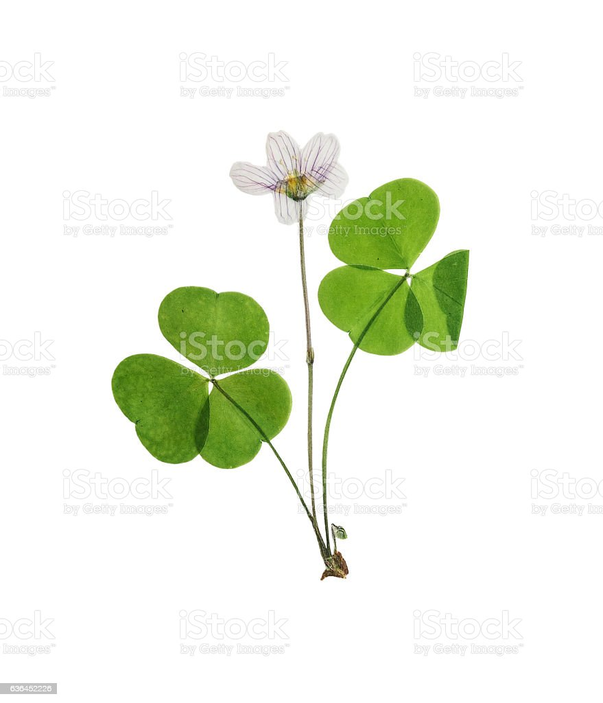 Pressed and dried set delicate flower oxalis. Isolated stock photo