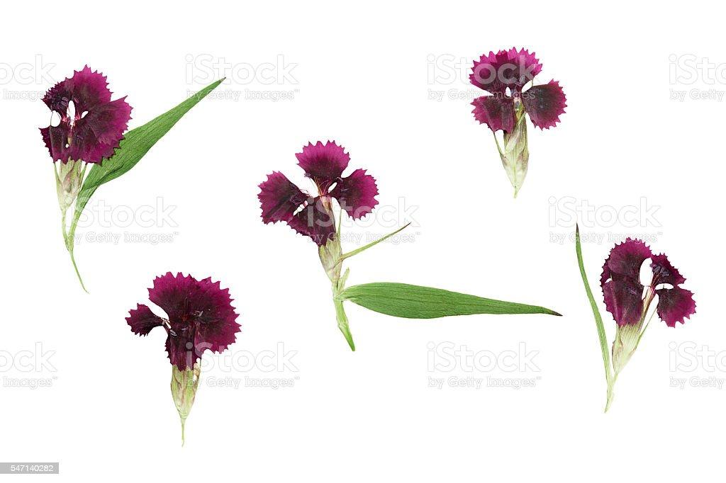 Pressed and dried set magenta flowers dianthus barbatus stock photo
