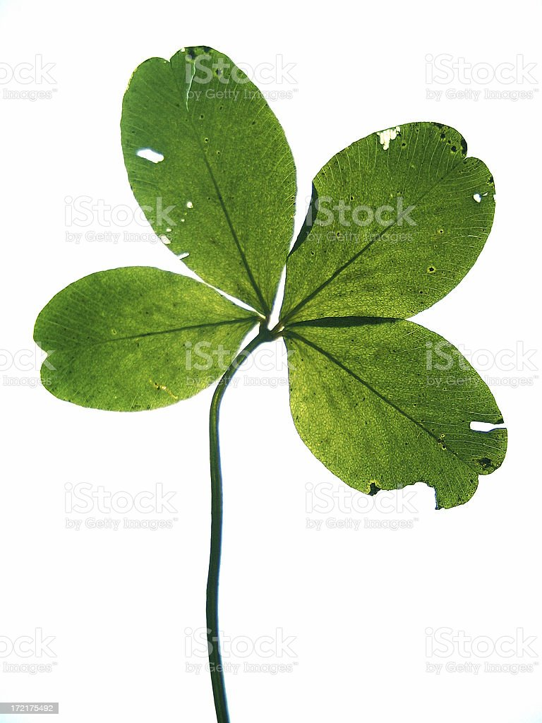 Pressed four-leaf clover isolated on white royalty-free stock photo