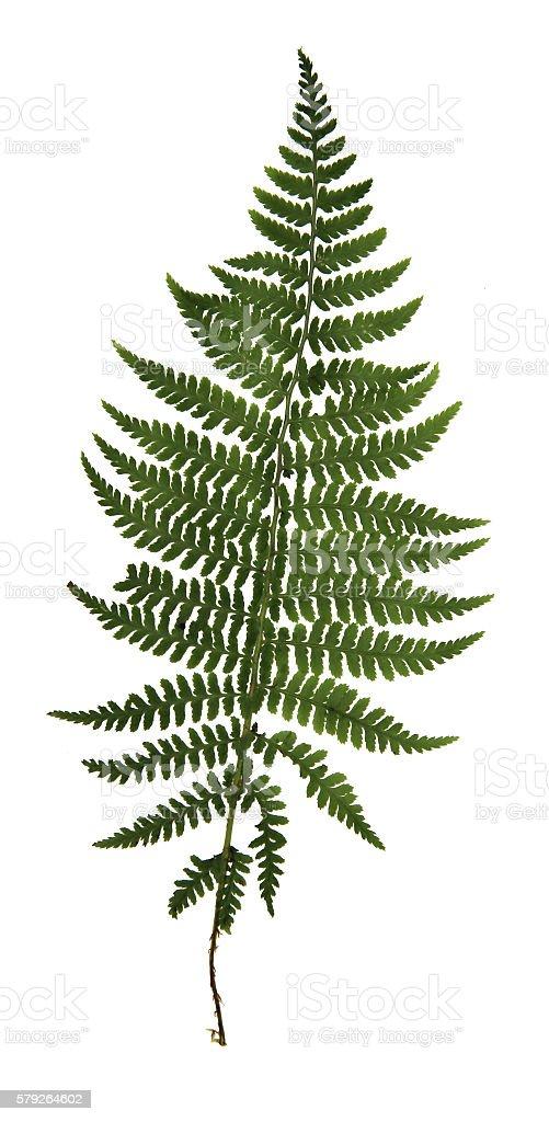 pressed leaf of fern stock photo