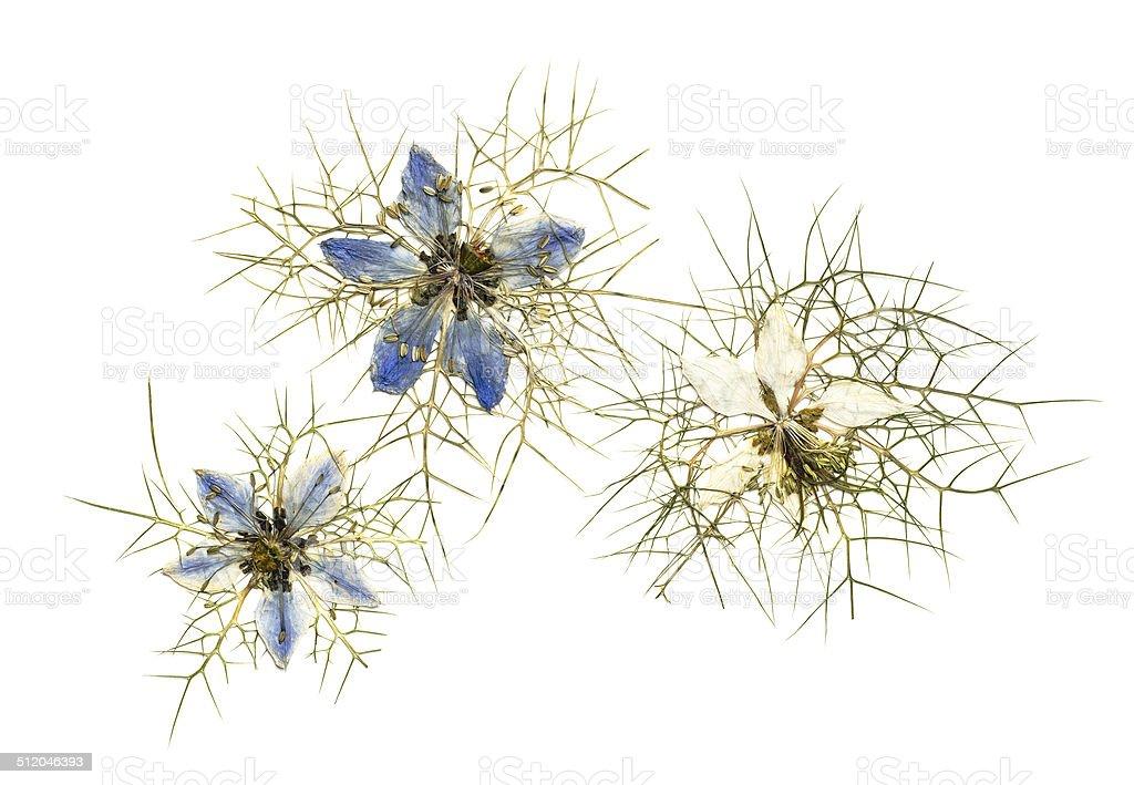 pressed nigella flowers stock photo