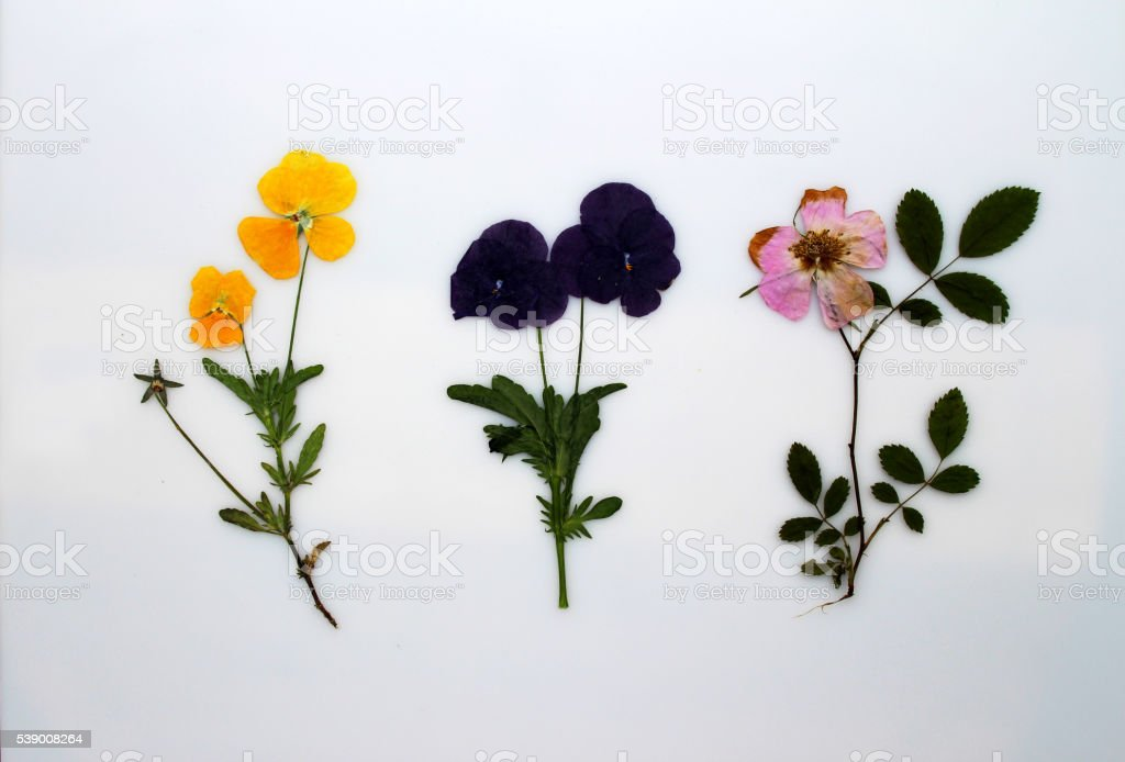 Pressed pansy flowers stock photo