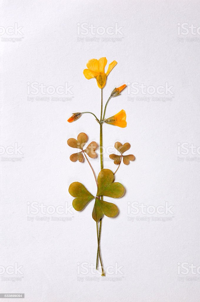 Pressed yellow flower stock photo