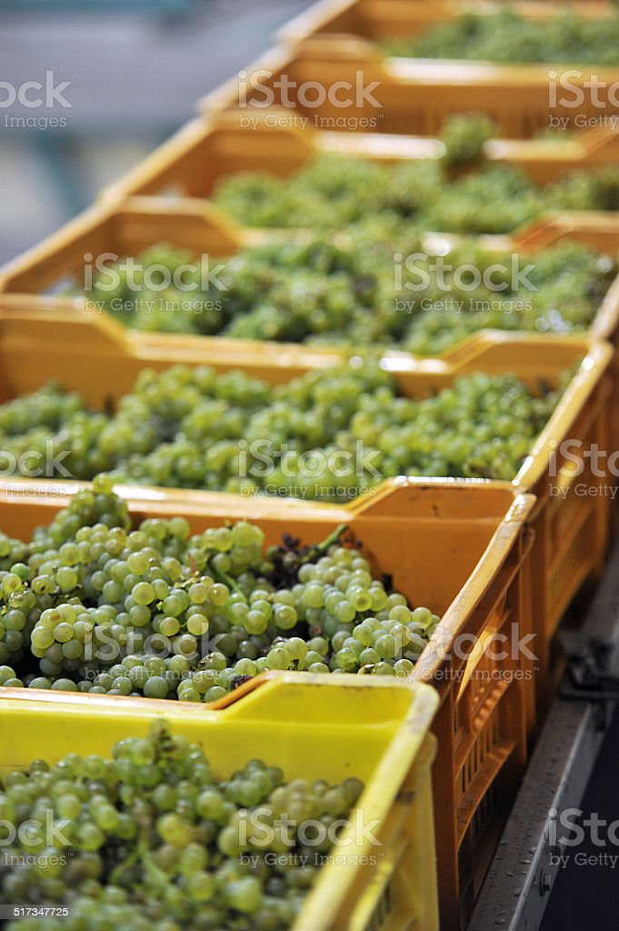 pressing the center of the grape stock photo