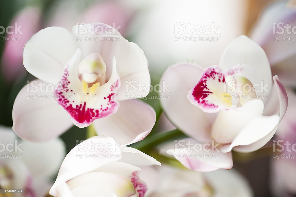 Pretty Baby Orchids royalty-free stock photo