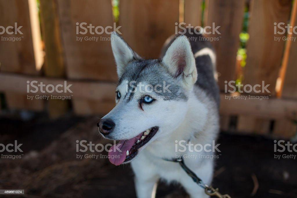 Piuttosto bianco e nero ragazzo Husky Bright blue eyes foto stock royalty-free