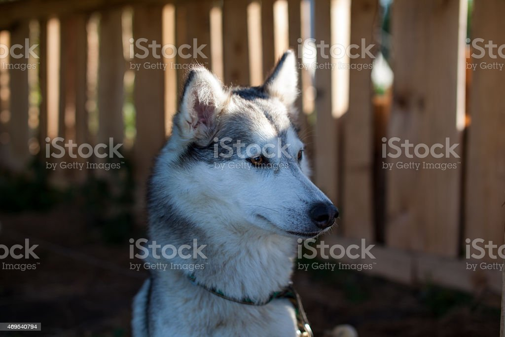 Piuttosto bianco e nero lady Husky foto stock royalty-free