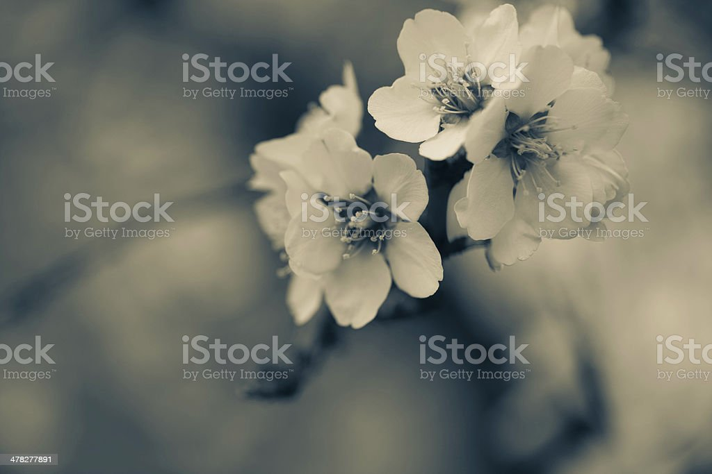 Pretty Blossoms in Spring stock photo