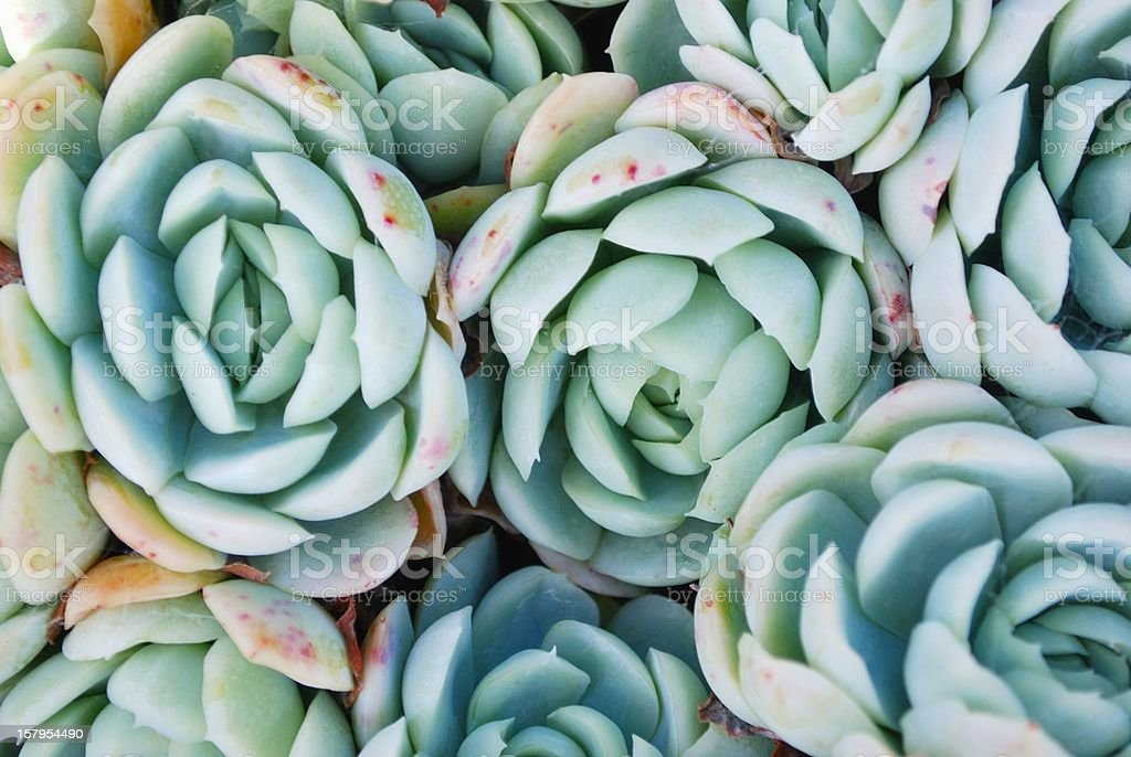 Pretty blue hens and chicks succulent stock photo