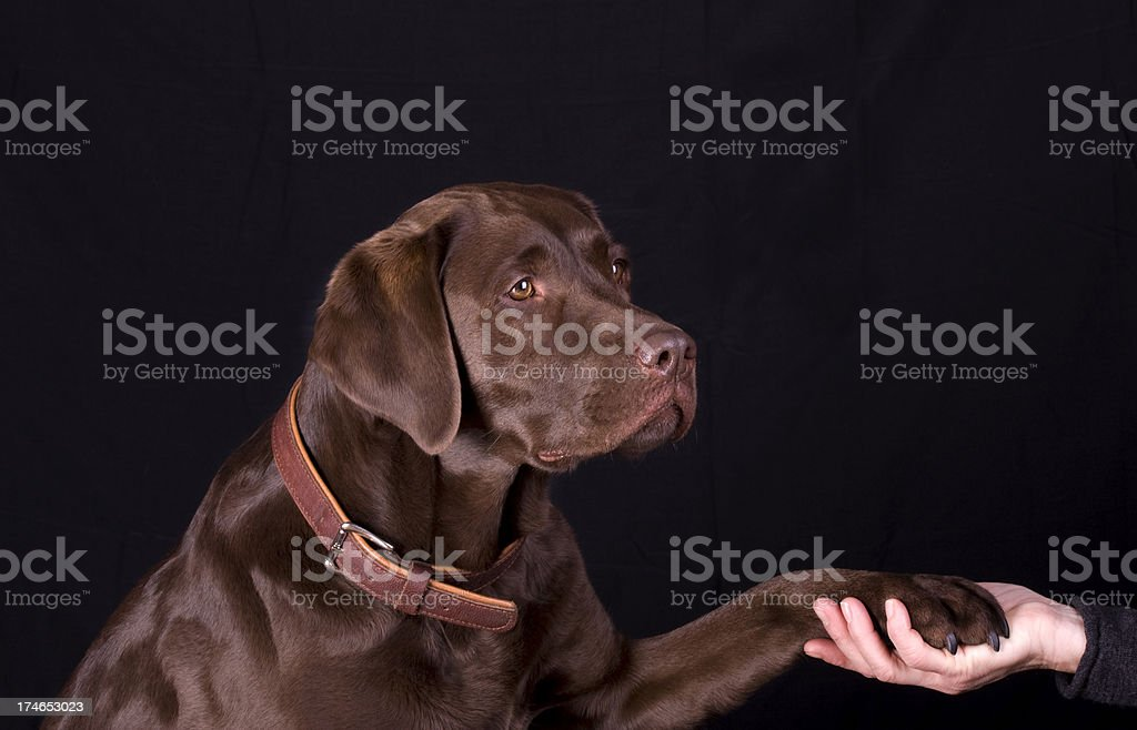 Pretty brown Labrador. stock photo