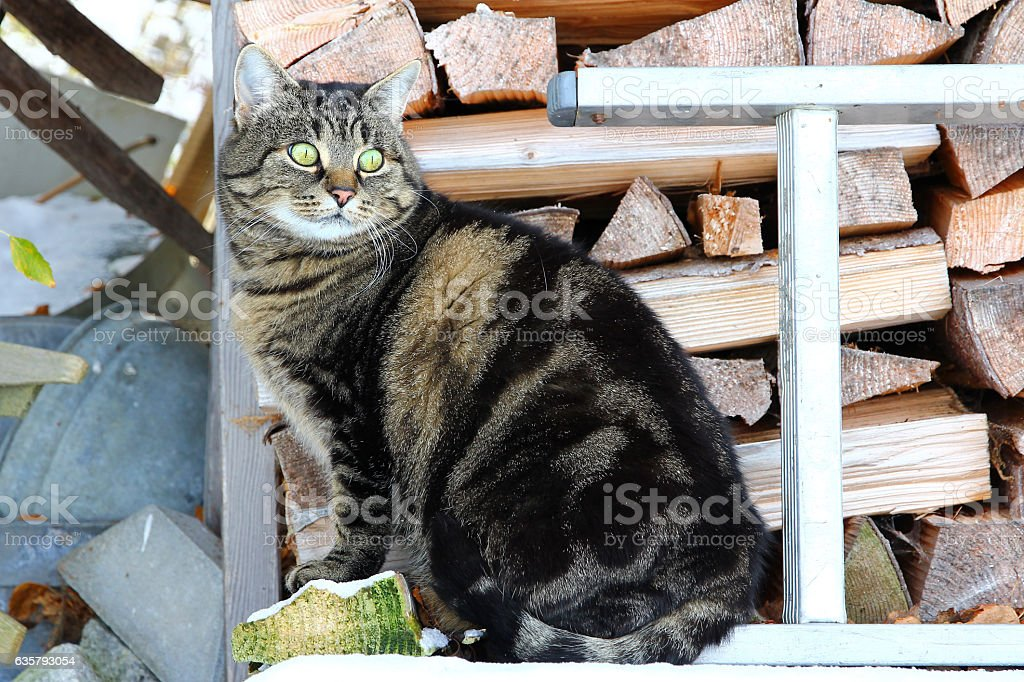 pretty brown-black cat in front of a wooden pile stock photo
