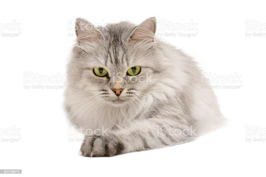 Pretty calm grey long hair cat looking in front stock photo
