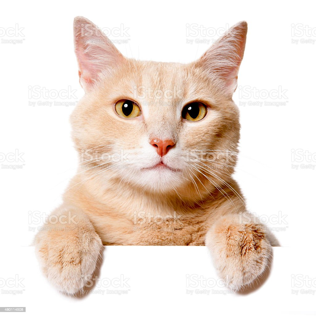Pretty cat peeking behind a blank white banner stock photo