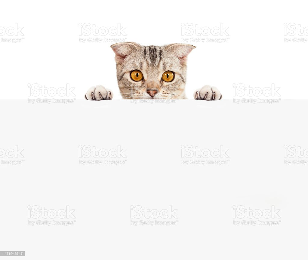 Pretty cat with blank board royalty-free stock photo