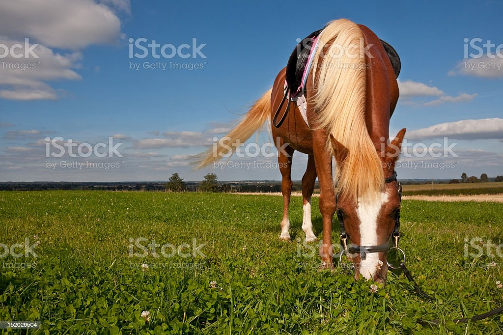 pretty chestnut pony grazing whilst out on a hack royalty-free stock photo