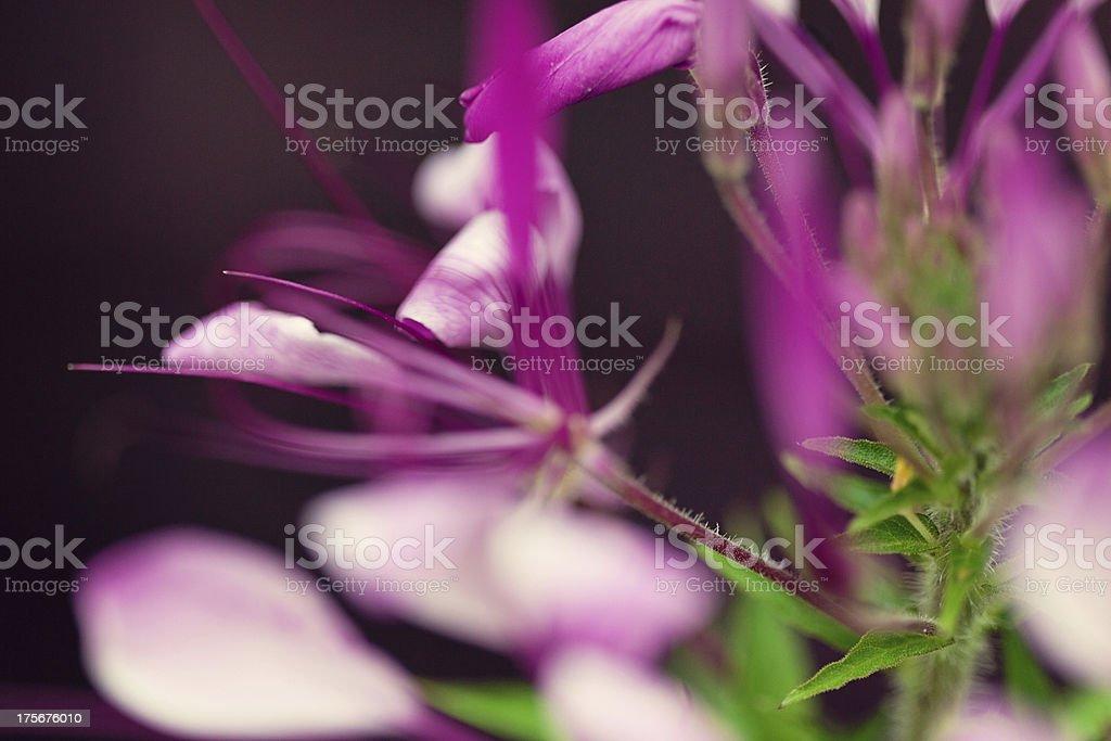 Pretty Cleome Flower royalty-free stock photo
