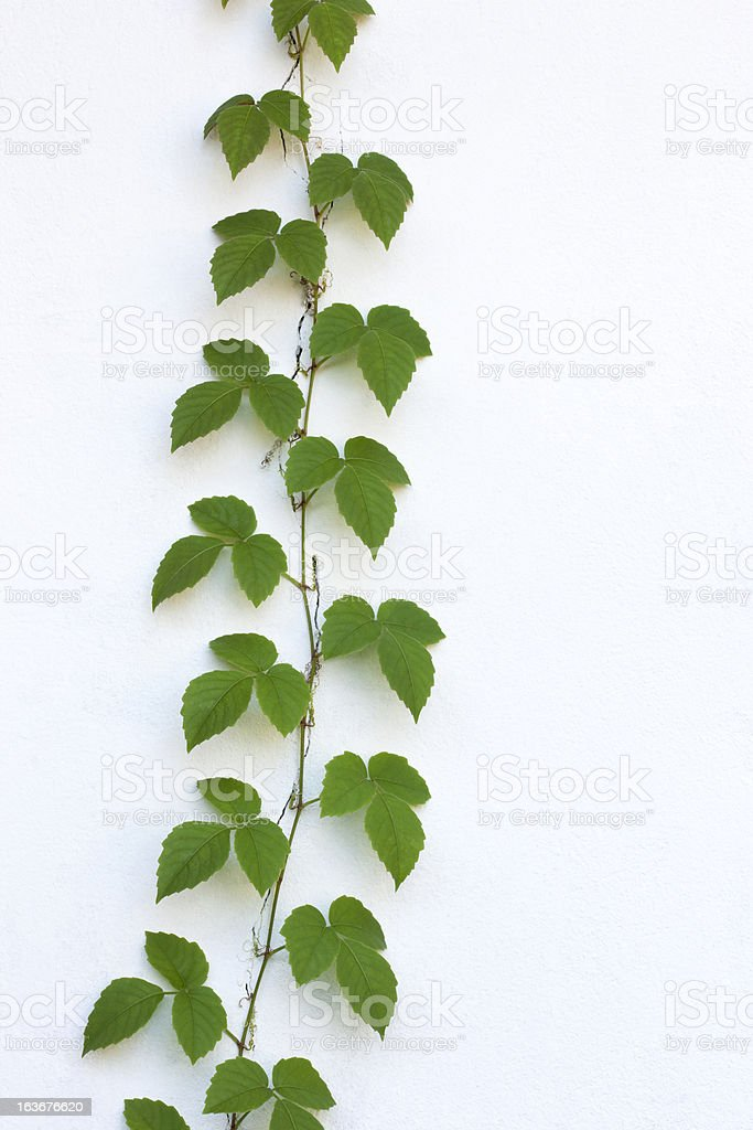 Pretty creeper climbing up a white painted wall. royalty-free stock photo