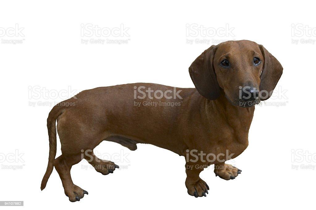 Pretty dachshund royalty-free stock photo