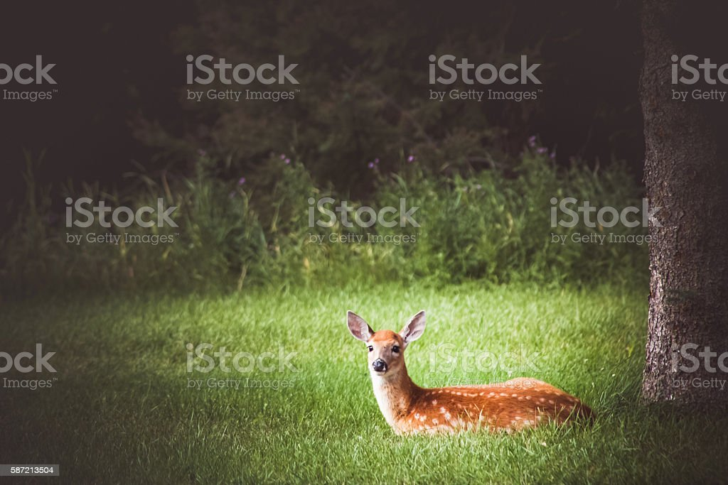 Pretty Fawn Lying In Grass Meadow Alone stock photo