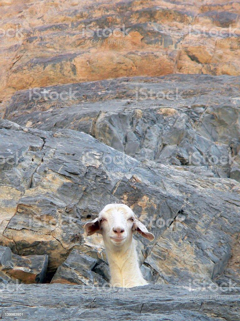 Pretty goat 1 royalty-free stock photo
