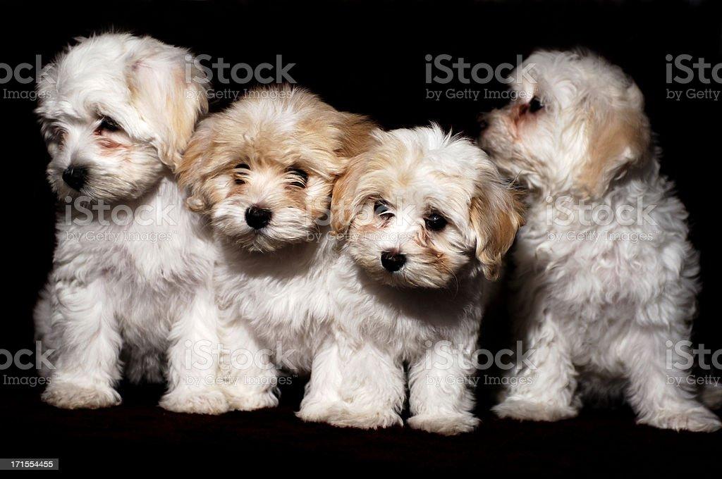 Pretty Havanese Foursome royalty-free stock photo