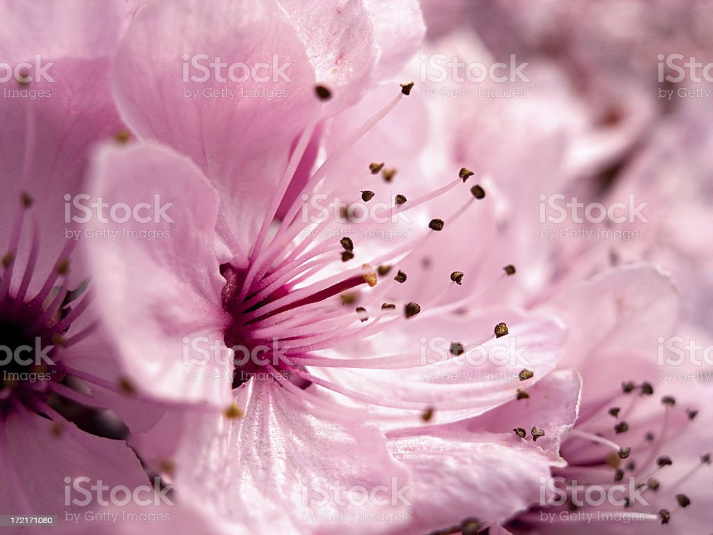 Pretty In Pink: Cherry Blossom royalty-free stock photo