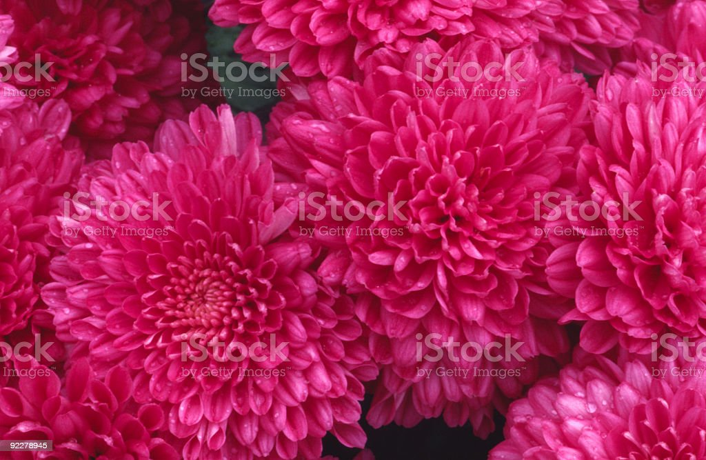 Pretty in Pink stock photo