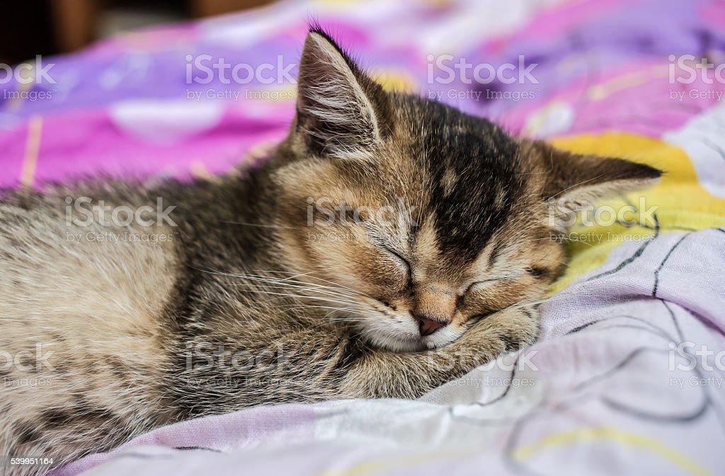 pretty kitten British golden chinchilla ticked sweetly sleeps stock photo