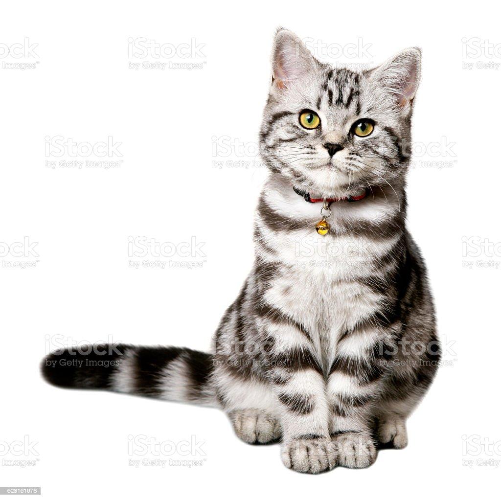 Pretty kitten (british shorthair) isolated on white stock photo