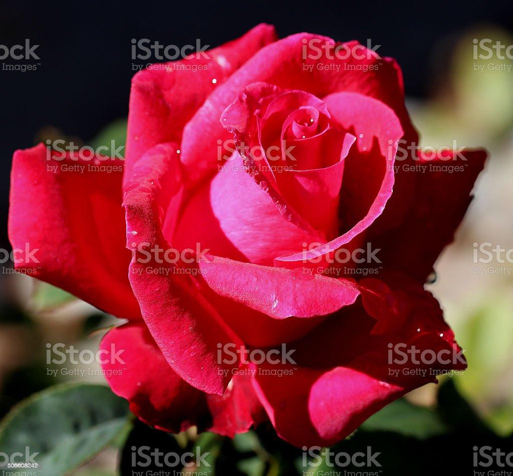 'Pretty Lady Rose' Hybrid Tea Rose stock photo