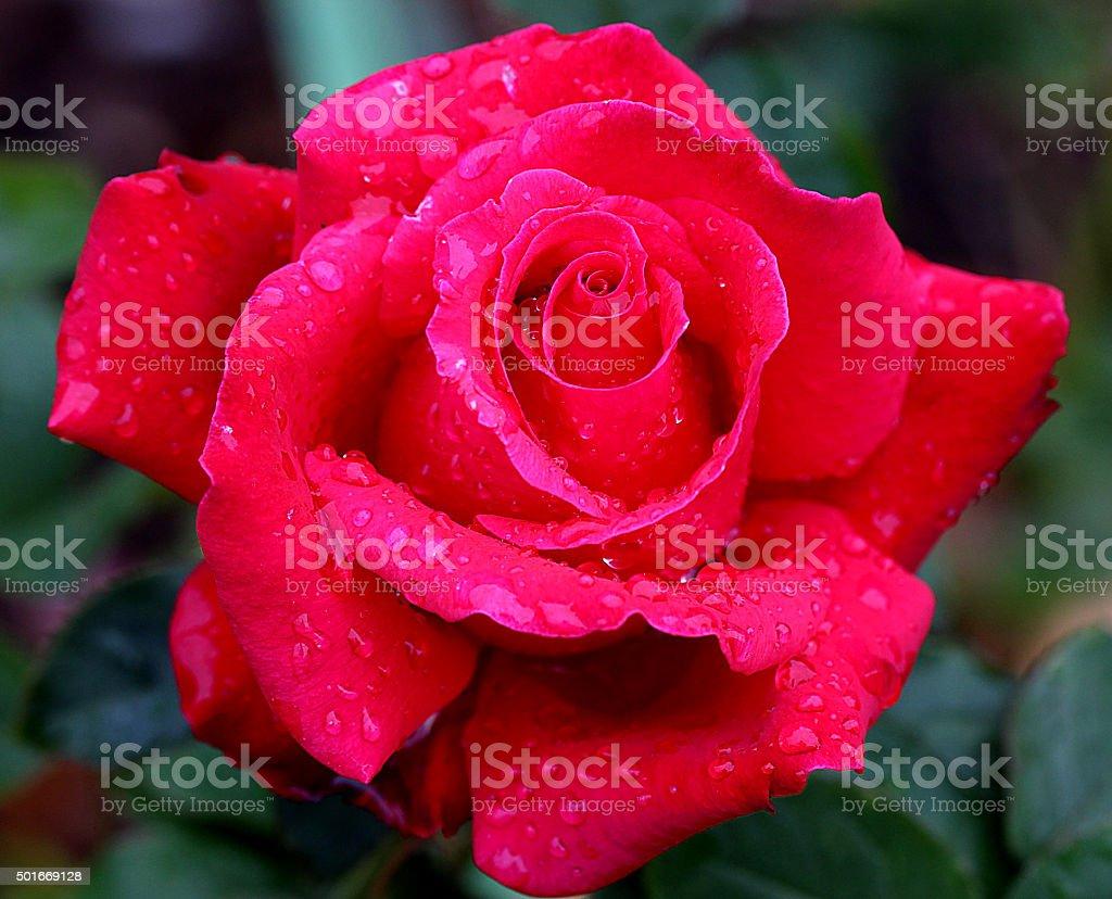 'Pretty Lady Rose' stock photo