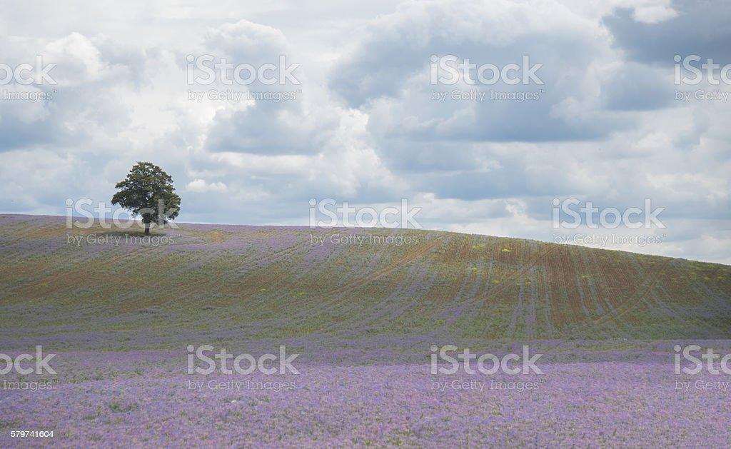 pretty lilac field royalty-free stock photo