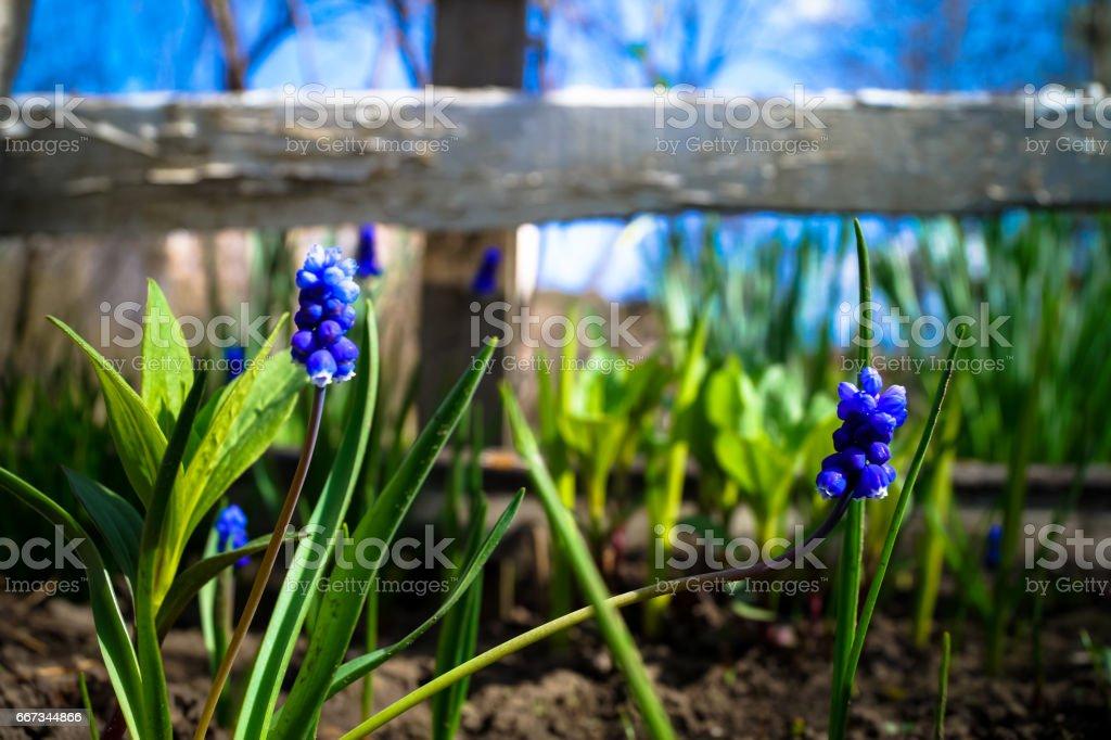 pretty little blue flowers in the garden stock photo