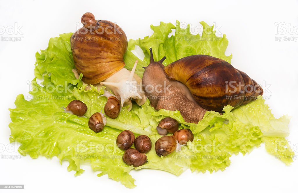 Pretty little new-born snails with parents on lettuce stock photo