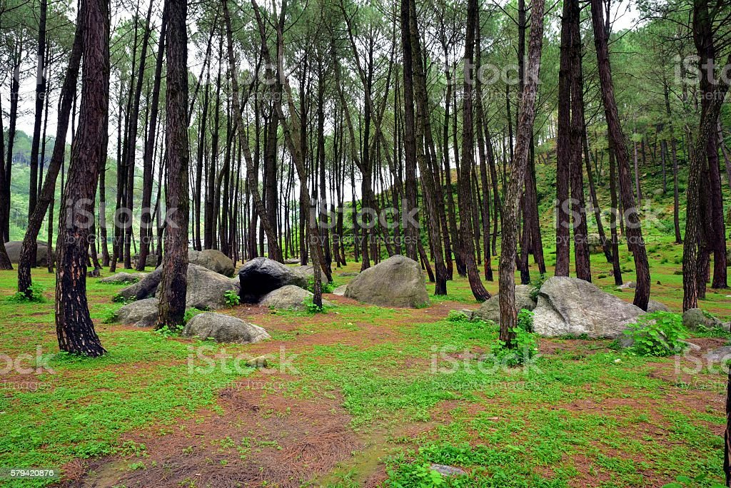 Pretty Lush Green Pine Forest stock photo