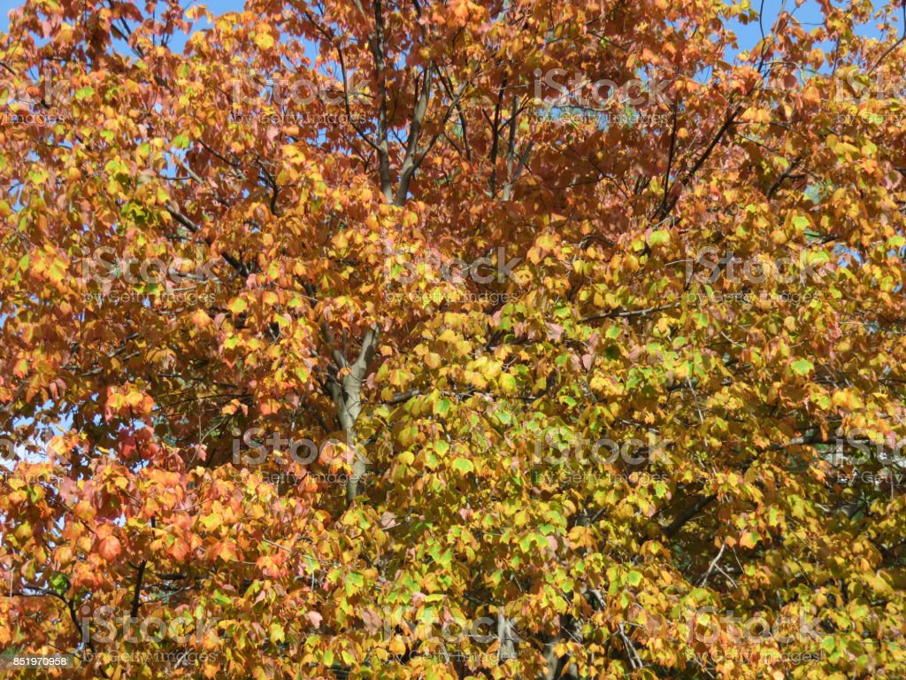 Pretty Neighborhood Autumnal Tree stock photo