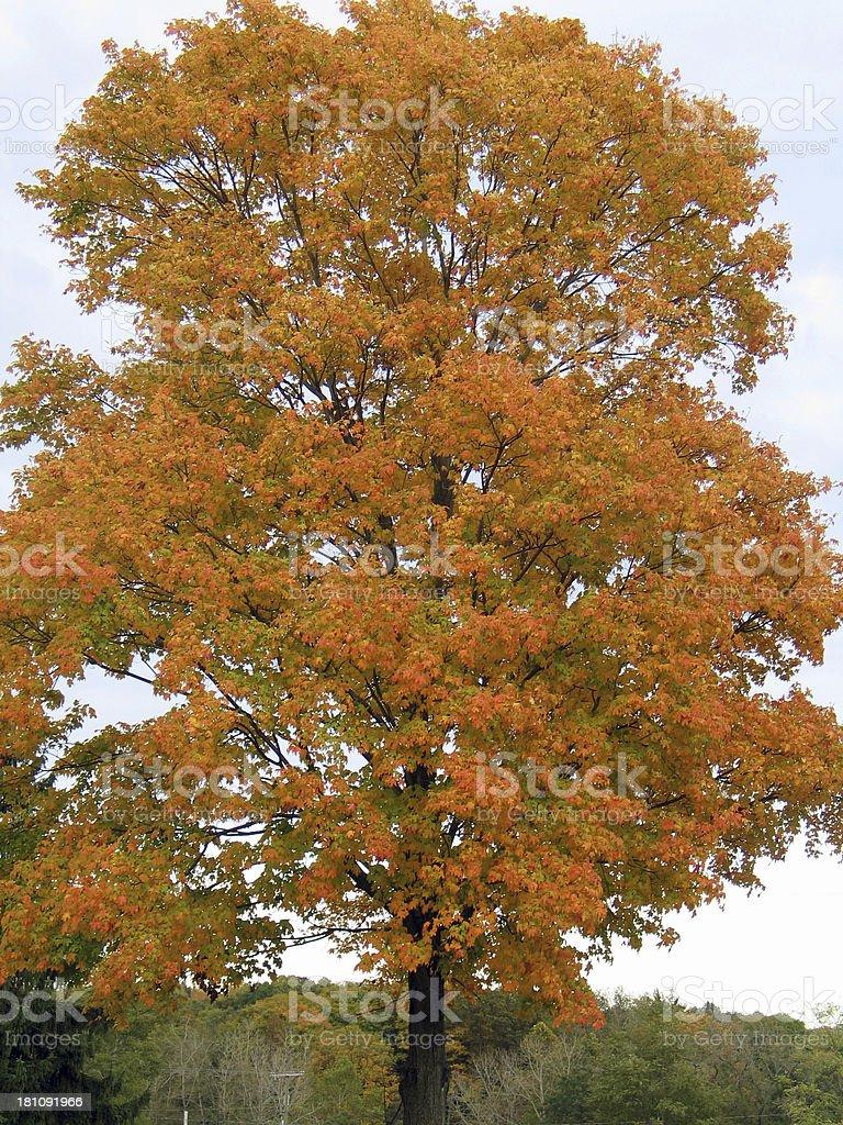 Pretty Oak Tree With All The Fall Splendor royalty-free stock photo