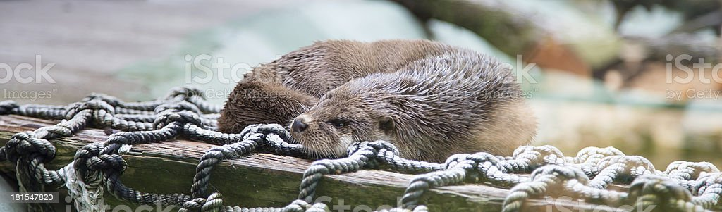 Pretty Otters, the members of Mustelidae family royalty-free stock photo