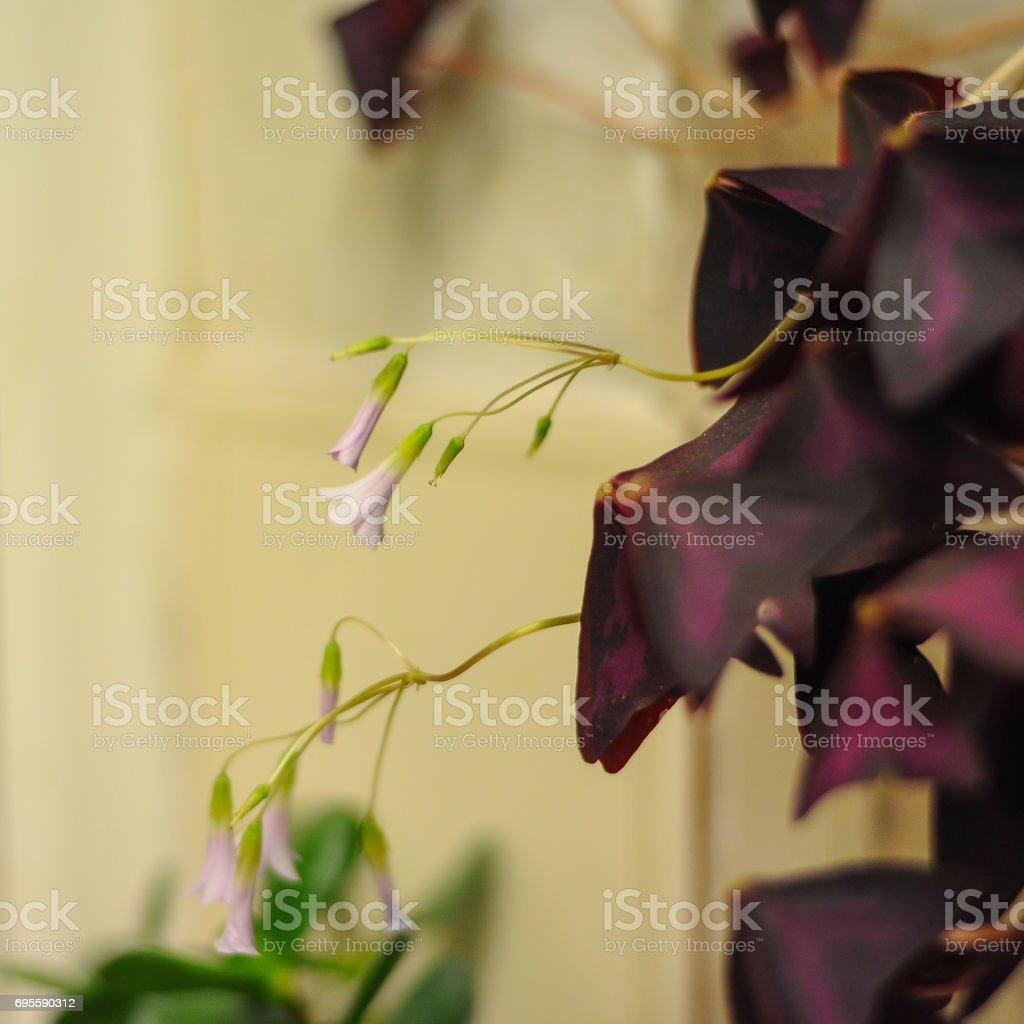 Pretty Oxalis Flower stock photo