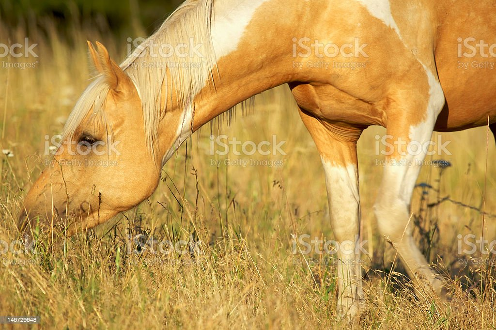 Pretty Palomino Paint Horse in Evening Light royalty-free stock photo
