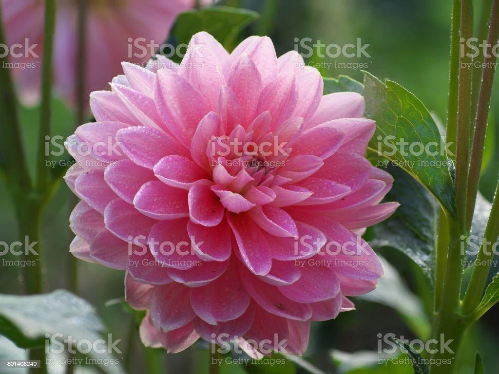 Pretty pink dahlia flower with dew drops in morning dahlia after pretty pink dahlia flower with dew drops in morning dahlia after rain royalty free izmirmasajfo